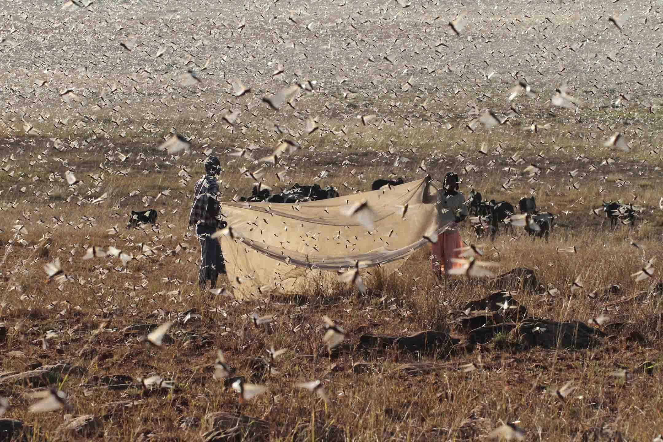 Locusta migratoria capito1