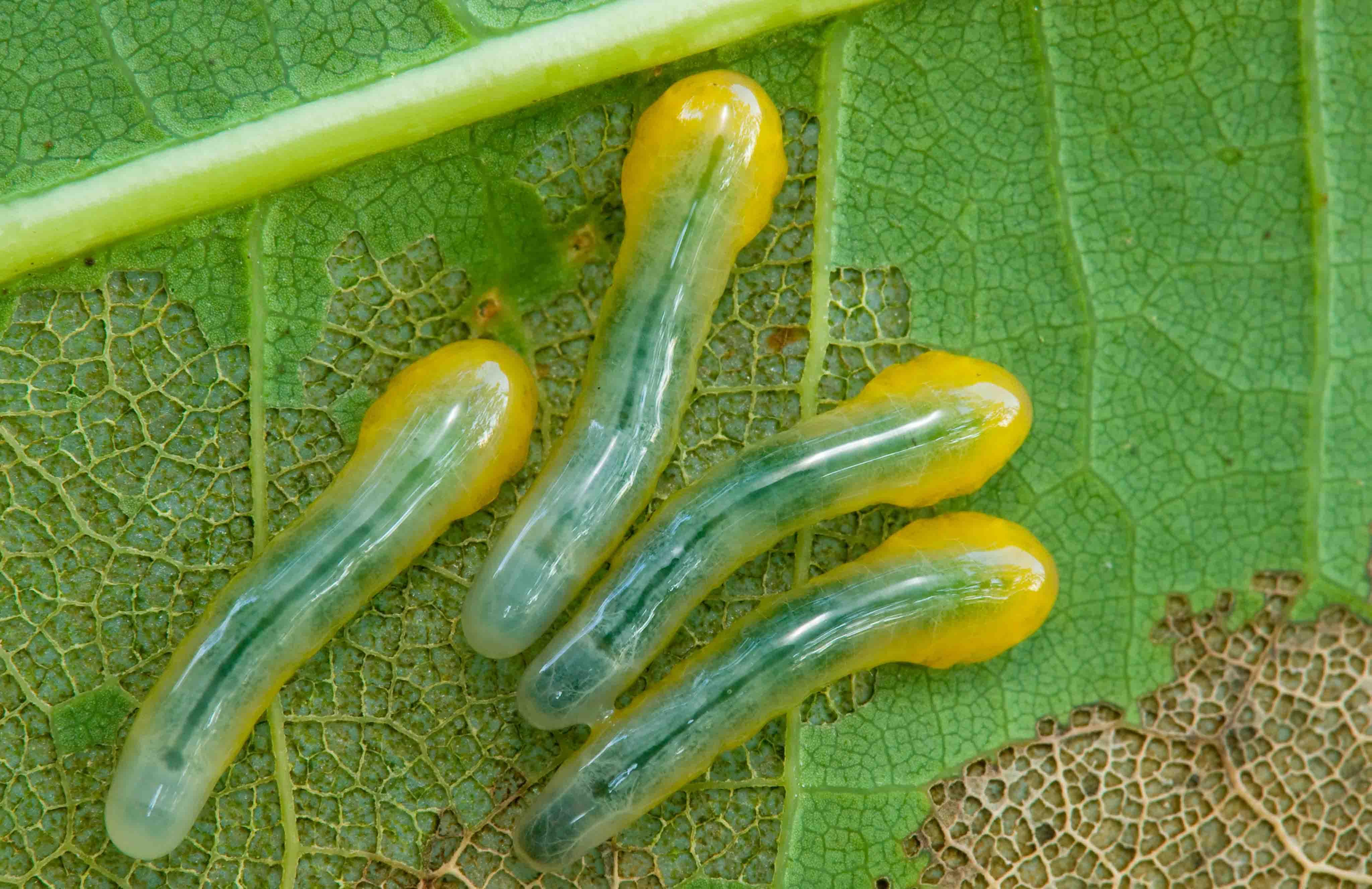Sawfly larvae