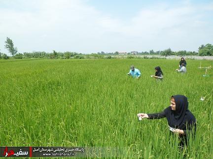 تریکوگراما - کرم ساقه خوار برنج