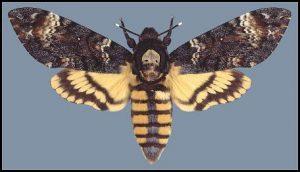 پروانه چوبخوار پسته Kermanix Pistaciella