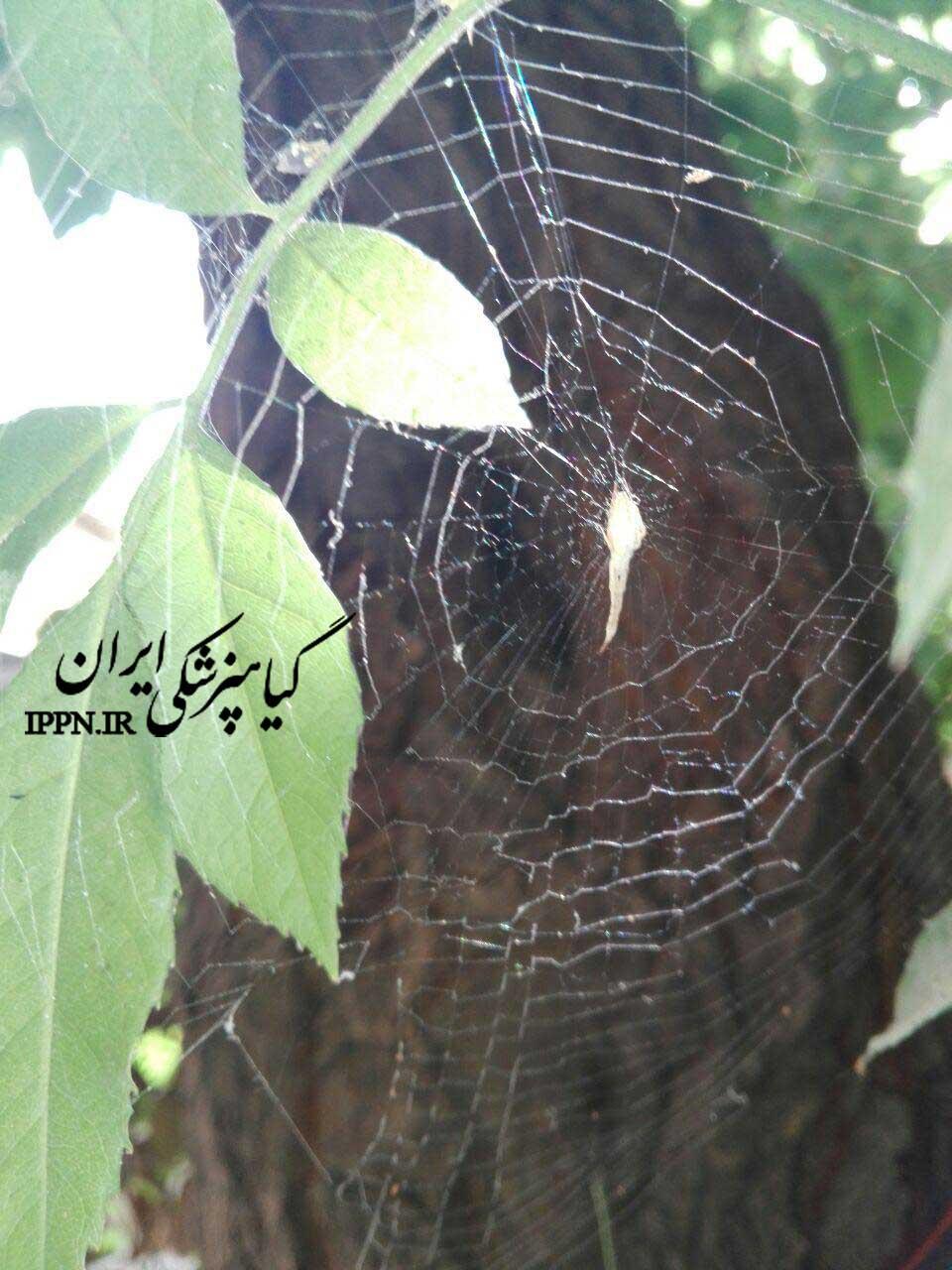 عنکبوت دم عقربی