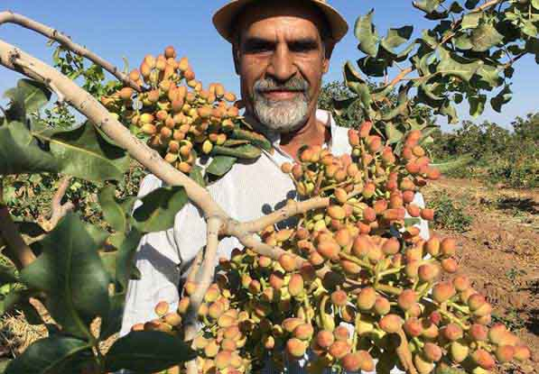 باغ پسته - نعمت احمدی