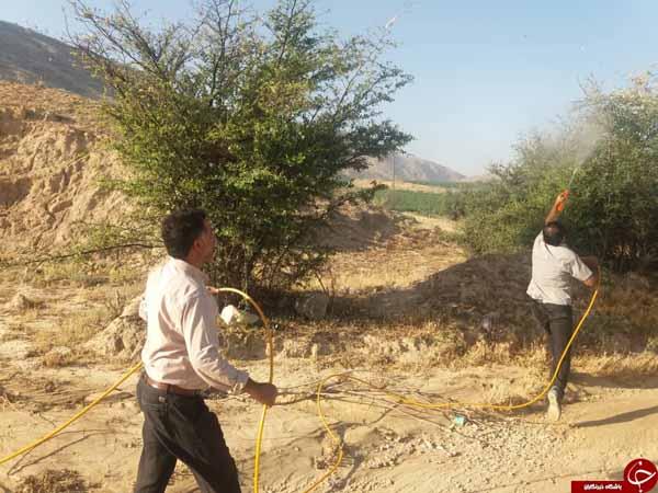 آغاز سمپاشی علیه آفت ملخ صحرایی در کازرون