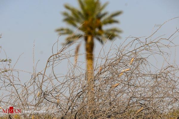 ملخ صحرایی رودان هرمزگان