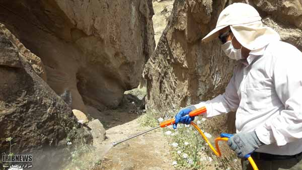 ورود ملخها به مراتع گچساران