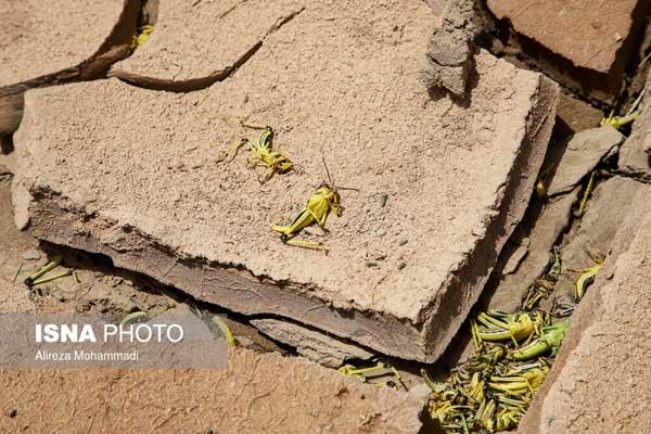 سمپاشی ملخ صحرایی هندیجان خوزستان